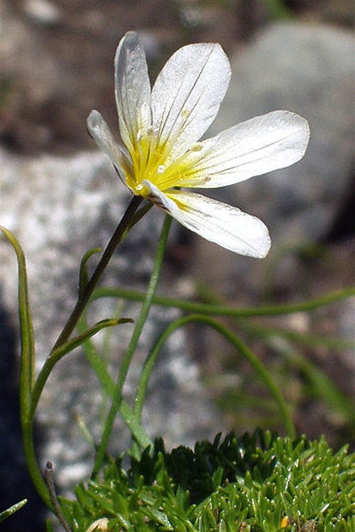 The Snowdon Lily