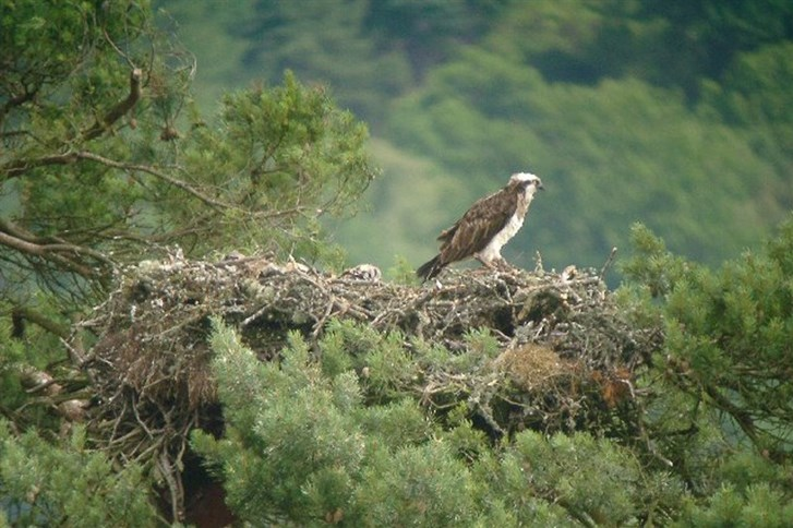 An Osprey in the UK
